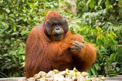 Orang-Utan in Borneo Indonesien Stockbilder