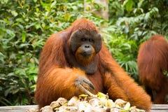 Orang-Utan in Borneo Indonesien Lizenzfreie Stockbilder