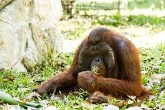 Orang-Utan in chiangmai Zoo chiangmai Thailand Stockbilder