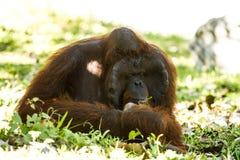 Orang-Utan in chiangmai Zoo chiangmai Thailand Stockfotografie
