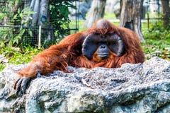 Orang-Utan in chiangmai Zoo chiangmai Thailand Lizenzfreies Stockfoto