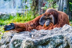Orang-Utan in chiangmai Zoo chiangmai Thailand Stockbild
