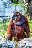 Orang-Utan in chiangmai Zoo chiangmai Thailand Stockfotos