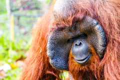 Orang-Utan in chiangmai Zoo chiangmai Thailand Lizenzfreie Stockfotografie