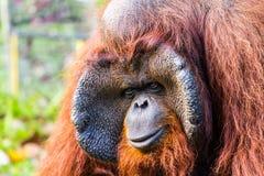 Orang-Utan in chiangmai Zoo chiangmai Thailand Lizenzfreie Stockbilder