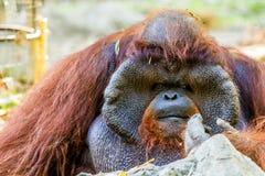 Orang-Utan in chiangmai Zoo chiangmai Thailand Lizenzfreies Stockbild