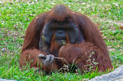 Orang Utan Stock Photo