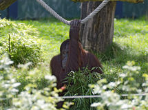 Orang-utan  clutching to a rope. With one hand Royalty Free Stock Photos