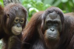 Orang Utan couple Stock Photography