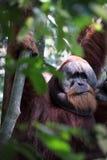 Orang-Utan in den Bäumen Stockfotografie