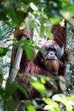 Orang-Utan in den Bäumen Lizenzfreies Stockfoto