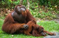 Orang-Utan, der auf dem Gras sitzt indonesien Die Insel von Kalimantan Borneo Lizenzfreie Stockbilder
