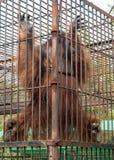 Orang-Utan, der auf den Stangen klettert Stockfotos