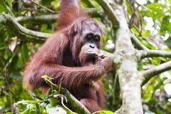 Orang-Utan, der auf einem Baum denkt Lizenzfreie Stockfotos