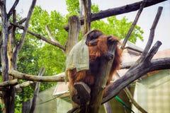 Orang-Utan, der auf einem Baum im Zoo und mit einer weißen Decke bedeckt sitzt Stockbild