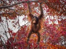 Orang-Utan, der auf einem Baum spielt Stockfotografie