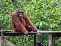 Orang-Utan, der auf einer hölzernen Plattform im Hintergrund von grünen Blättern sitzt Stockbild