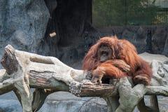 Orang-Utan, der auf Felsen liegt Lizenzfreie Stockfotos
