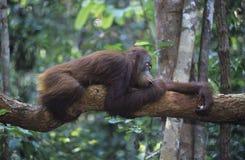 Orang-Utan, der auf Niederlassung im Wald stillsteht Stockbild