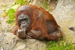 Orang-Utan, der auf Steinen sitzt Stockfoto