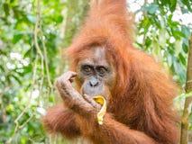 Orang-Utan, der Banane in Bukit Lawang, Indonesien isst Stockbild