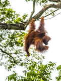 Orang-Utan, der in den Bäumen schwingt Lizenzfreies Stockfoto