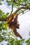 Orang-Utan, der in den Bäumen schwingt Lizenzfreies Stockbild