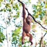 Orang-Utan, der an der Rebe hängt Lizenzfreies Stockbild