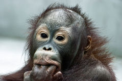 Orang-Utan, der die Finger (Pongo, leckt pygmaeus) Lizenzfreie Stockbilder