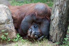 Orang-Utan, der die Kamera betrachtet Stockfotografie