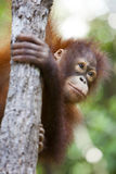 Orang-Utan, der einen Baum steigt. Lizenzfreie Stockfotos