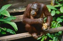 Orang-Utan, der frühstückt Stockbilder