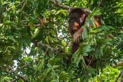 Orang-Utan, der Frucht auf Baumast isst Stockfoto