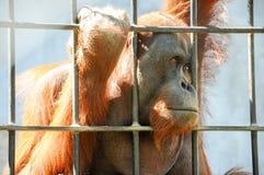 Orang-Utan in der Gefangenschaft Lizenzfreies Stockfoto
