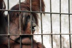 Orang-Utan in der Gefangenschaft Lizenzfreie Stockbilder