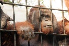 Orang-Utan in der Gefangenschaft Stockbilder