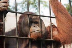 Orang-Utan in der Gefangenschaft Lizenzfreies Stockbild