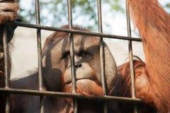 Orang-Utan in der Gefangenschaft Stockbild