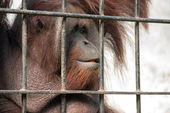 Orang-Utan in der Gefangenschaft Lizenzfreie Stockfotos