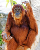 Orang-Utan in der Gefangenschaft, die auf einem Baumast sitzt Stockfotos