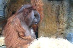 Orang-Utan, der Gemüse isst Stockfotografie