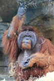 Orang-Utan, der Gemüse isst Stockbild