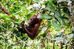 Orang-Utan, der im Regenwald herumsucht Lizenzfreie Stockfotos