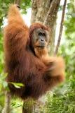 Orang-Utan, der am Liana hängt Lizenzfreie Stockfotografie