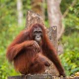 Orang-Utan in der Natur Stockfotos