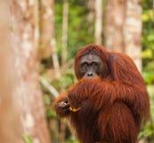 Orang-Utan in der Natur Lizenzfreies Stockbild