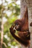 Orang-Utan in der Natur Stockbilder