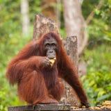 Orang-Utan in der Natur Lizenzfreie Stockfotografie