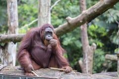 Orang-Utan in der Natur, Abschluss oben Lizenzfreies Stockbild