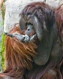 Orang-Utan, der sein Gesicht einzieht Stockfotografie